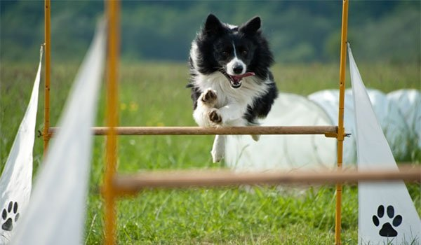 Sporting Dog image