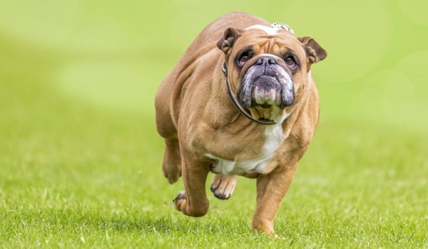 Overweight Dog image
