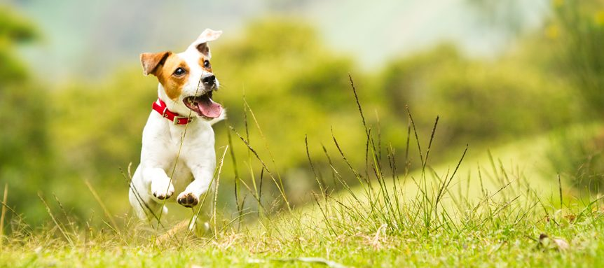 Image of Jack Russell